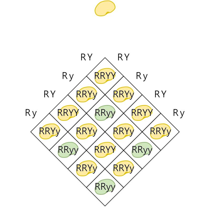 독립의 법칙 Dihybrid cross