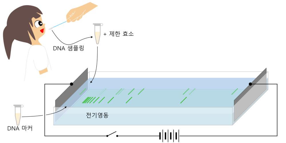 DNA 전기영동
