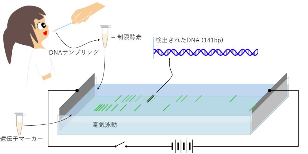 DNA電気泳動