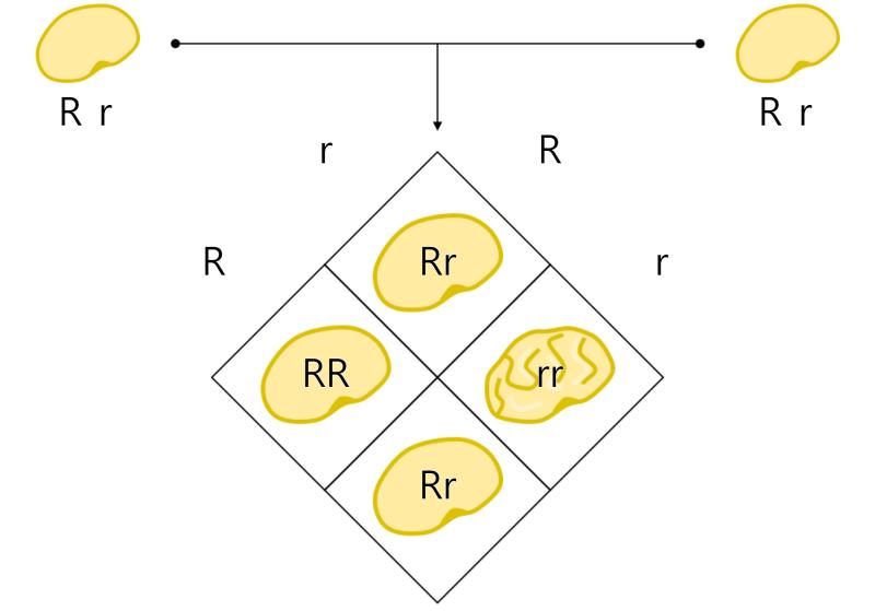 멘델 유전의 원리 Mendel`s Law of Heredity